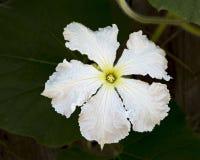 Plan rapproché femelle blanc de fleur de courge de bouteille images libres de droits