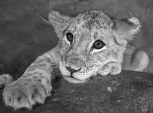Plan rapproché femelle de lion de bébé de bébé de 4 mois de son visage noir et blanc Photos stock