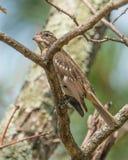 Plan rapproché femelle de portrait de gros-bec de rose-breasted - le Gouverneur Knowles State Forest dans le Wisconsin du nord en photographie stock libre de droits