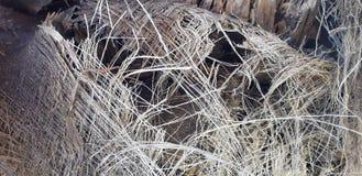Plan rapproché fibreux de surface de tronc de palmier Texture d'écorce de paume aux nuances de couleurs oranges et en bronze Déta photo libre de droits