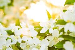 Plan rapproché fleurissant de pomme de ressort Image libre de droits