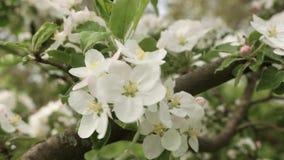 Plan rapproché fleurissant de pomme Les fleurs secouent dans le vent banque de vidéos