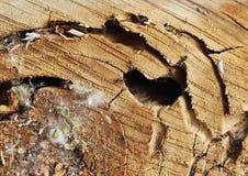 Plan rapproché fraîchement de scié et anneau d'arbre avec des fourmis images stock