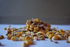 Plan rapproché frais de maïs photographie stock