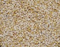 Plan rapproché frais de maïs Images stock