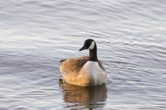 Plan rapproché frontal d'oie du Canada flottant sur l'eau bleue calme du St Lawrence River photographie stock libre de droits