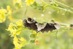 Plan rapproché géant de Caterpillar de machaon Images libres de droits