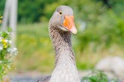 Plan rapproché Gray Goose Photos libres de droits