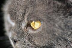 Plan rapproché gris de race écossais de regard de chat Image libre de droits