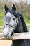 Plan rapproché gris de tête de cheval Images stock