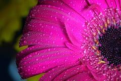 Plan rapproché humide frais de fleur de gerbera au ressort Grand comme fond ou carte de voeux Photos stock