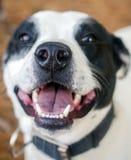 Plan rapproché humide froid de nez de chien Photo libre de droits