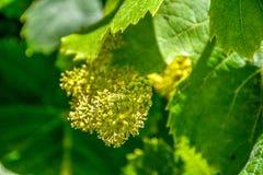 Plan rapproché hybride orange de roseraie de thé photo libre de droits