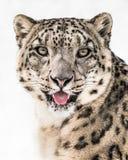 Plan rapproché II de léopard de neige Photos stock