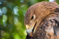 Plan rapproché impérial oriental de heliaca d'Aquila d'aigle photos libres de droits