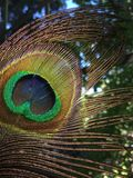 Plan rapproché iridescent de macro d'oiseau de plume de paon Photographie stock