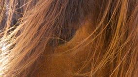 Plan rapproché islandais d'oeil de cheval banque de vidéos