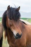 Plan rapproché islandais de cheval Images libres de droits