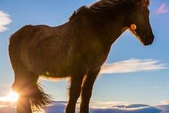 Plan rapproché islandais de cheval avec la fusée de lentille Image libre de droits