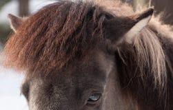 Plan rapproché islandais de cheval de visage Images libres de droits