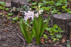 Plan rapproché jacinthe de jardin ou d'orientalis roses de Hyacinthus au parterre, foyer sélectif, DOF peu profond photographie stock libre de droits