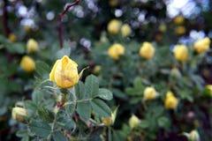 Plan rapproché jaune de buisson de roseraie image libre de droits
