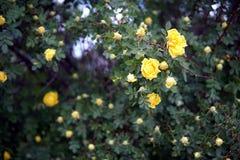 Plan rapproché jaune de buisson de roseraie photographie stock libre de droits