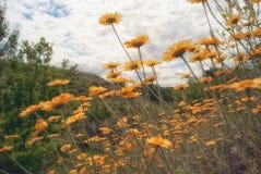 Plan rapproché jaune de camomille de marguerite de fleur sauvage sur la clairière dans les domaines Photos libres de droits