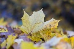 Plan rapproché jaune de feuille d'automne photos libres de droits