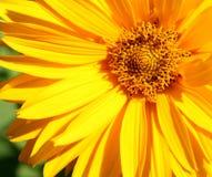 Plan rapproché jaune de fleur Photos stock