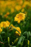 Plan rapproché jaune de fleur Image stock