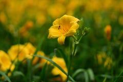 Plan rapproché jaune de fleur Photos libres de droits
