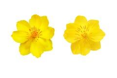 Plan rapproché jaune de fleur d'abricot d'isolement sur le blanc Photos libres de droits