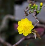Plan rapproché jaune de fleur d'abricot (l'AMI de Hoa) Image libre de droits