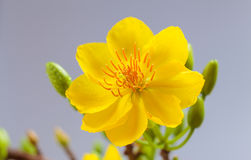Plan rapproché jaune de fleur d'abricot (l'AMI de Hoa) Photos libres de droits