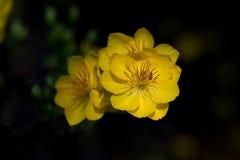 Plan rapproché jaune de fleur d'abricot (l'AMI de Hoa) Images libres de droits