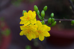 Plan rapproché jaune de fleur d'abricot (l'AMI de Hoa) Photo stock