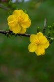 Plan rapproché jaune de fleur d'abricot (l'AMI de Hoa) Photographie stock libre de droits