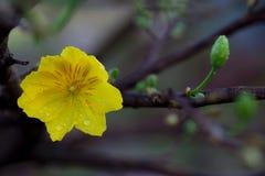 Plan rapproché jaune de fleur d'abricot (l'AMI de Hoa), les fleurs de la nouvelle année Images libres de droits