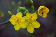 Plan rapproché jaune de fleur d'abricot (l'AMI de Hoa), les fleurs de la nouvelle année Photos libres de droits