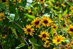 Plan rapproché jaune de fleur dans le jardin Images libres de droits