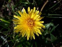 Plan rapproché jaune de fleur de pissenlit Photographie stock