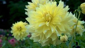 Plan rapproché jaune de floraison très grand de dahlia sur un beau fond brouillé clips vidéos