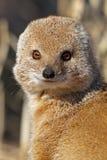 Plan rapproché jaune de mangouste, désert de Kalahari Photo stock