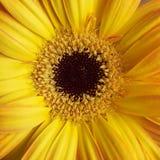 Plan rapproché jaune de marguerite de Gerber Photographie stock libre de droits