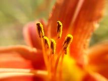 Plan rapproché jaune de pollens images libres de droits