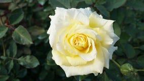 Plan rapproché jaune et blanc de rose Images stock