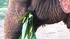 plan rapproché 4K d'un éléphant asiatique mangeant le bambou dans un camp de forêt tropicale banque de vidéos
