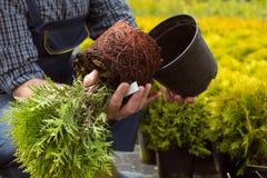 Plan rapproché Le système de racine de la petite jeune plante sur le marché de jardin photos libres de droits