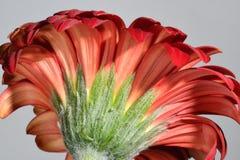 Plan rapproché lumineux d'une fleur rouge de marguerite Photographie stock
